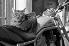 photo noir et blanc chat motard quimper